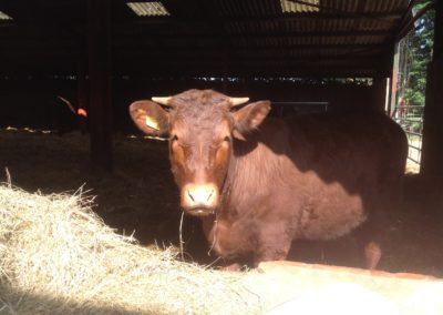 Organic Sussex Cattle at Lee House Farm
