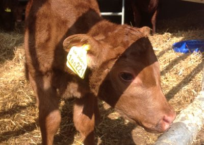 Sussex Calf at Lee House Farm